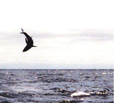 Flying Shark fish