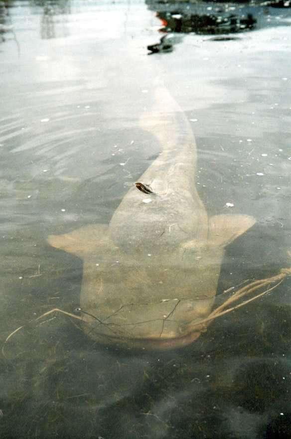 wels fish