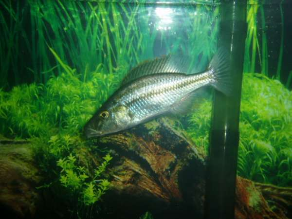 Haplochromis Comprecisep fish