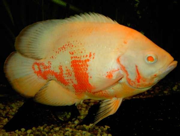tiger oscar / astronotus ocellatus albino fish