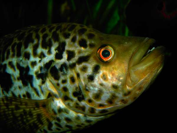 cichlasoma managuense fish