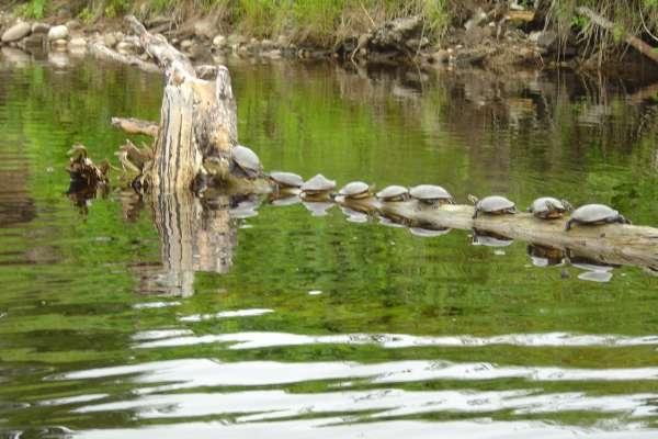 Turtles Everywhere fish