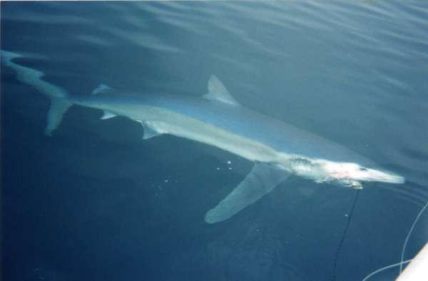 Montauk Blue shark fish