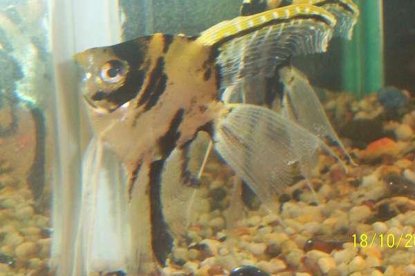 my angle fish fish
