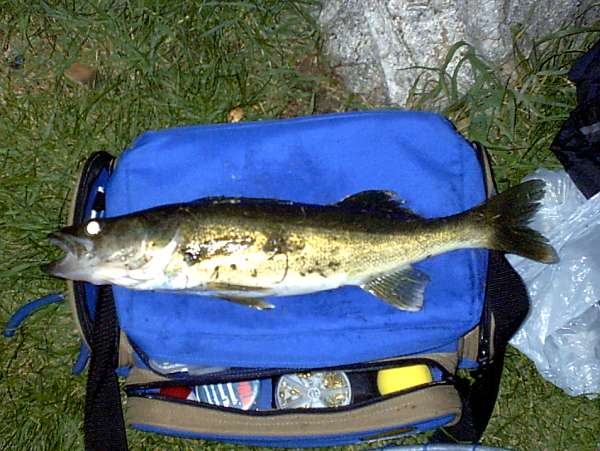 Walleye fish