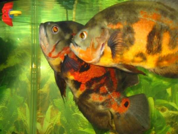 Bruno and PeeWee fish