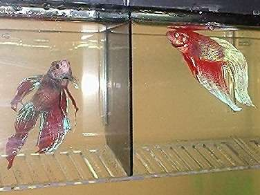 Spüg and Rüd fish