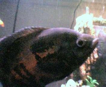 Monstro fish