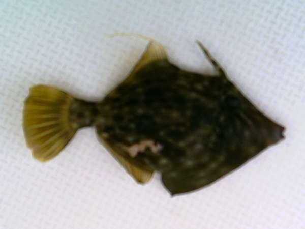 madeira 2 fish