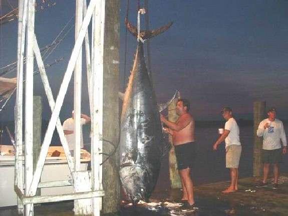 1152 lb tuna fish