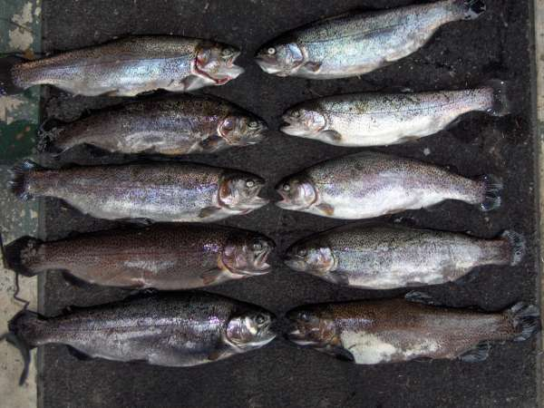 rainbows fish