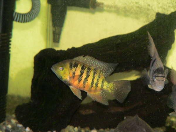 Bocourti fish
