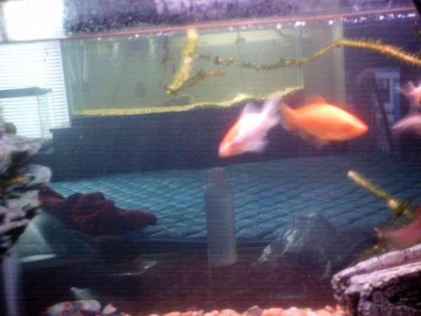 Gold fish fish