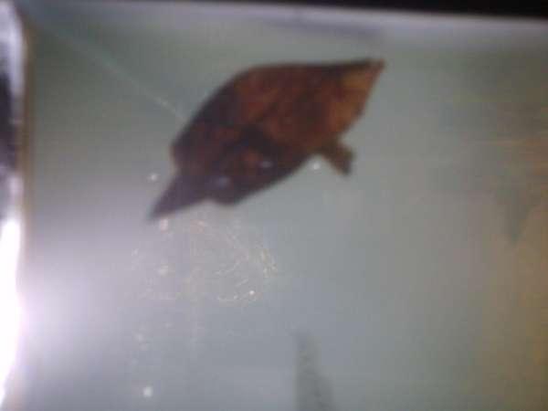 My south american leaf fish fish