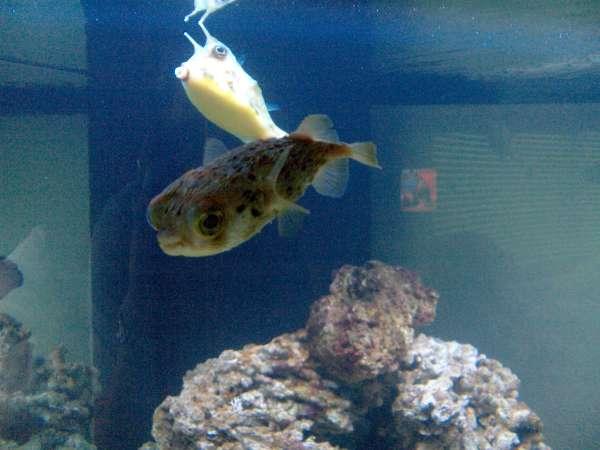 Cowfish and Puffer fish