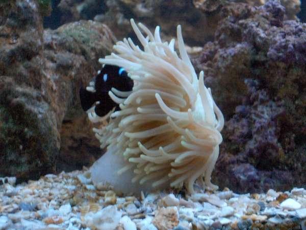 Domino Damsel in Anemone fish