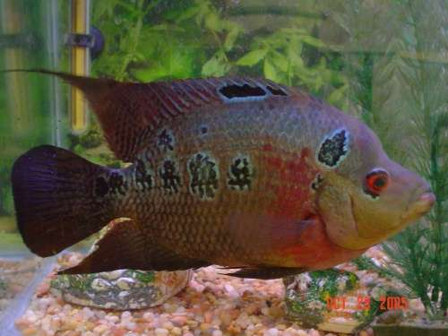 My Female Flowerhorn fish