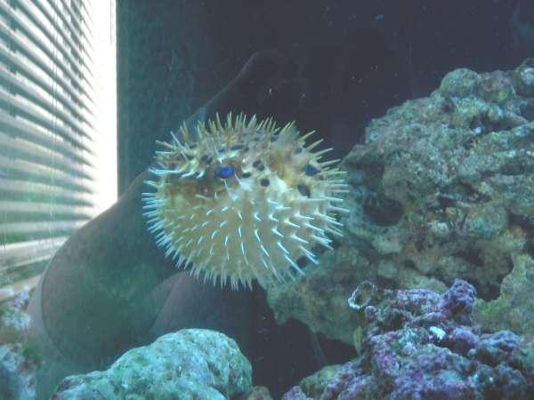 Porcupine Puffer fish