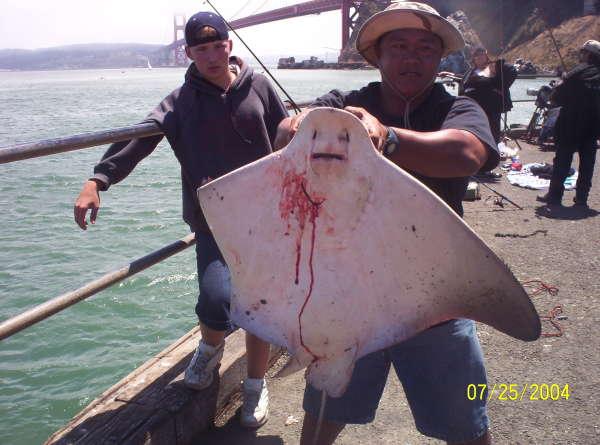 bat ray fish