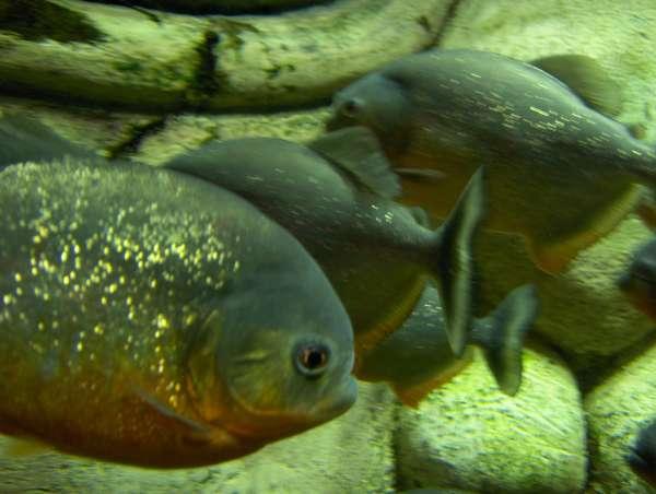 Piranha's fish