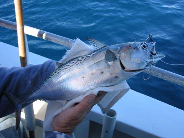 Bonita fish