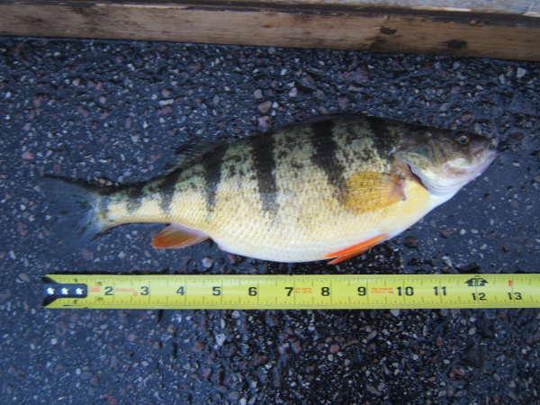 nice fat perch fish