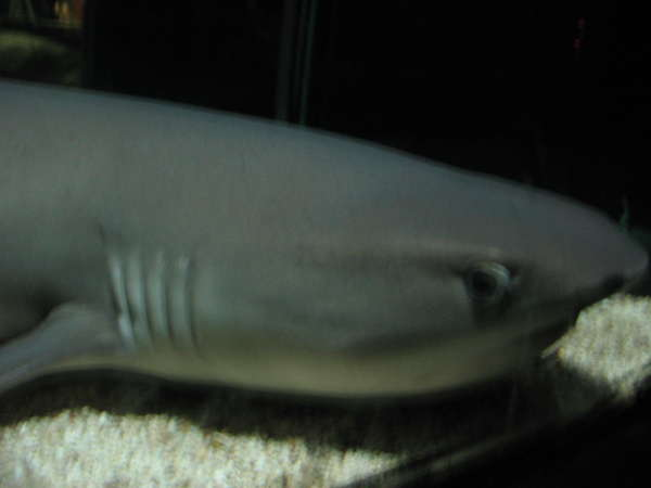 reef shark fish