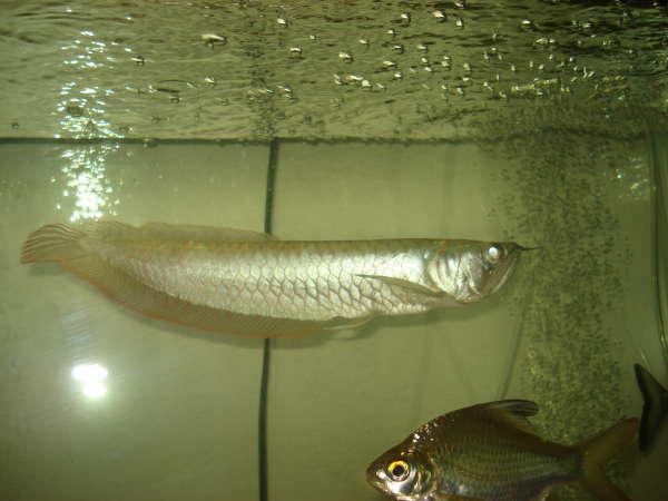 My arowana and tin foil barb fish rate my fish fish for Tin foil fish