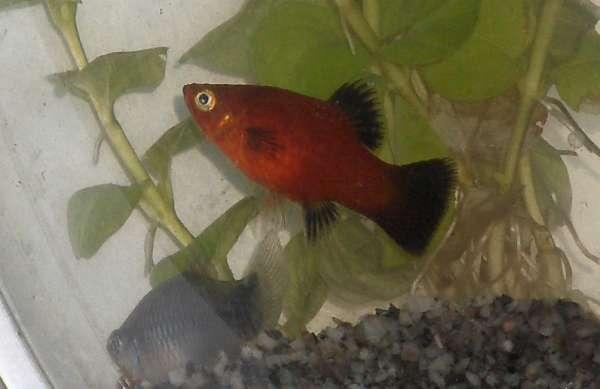 PLatys fish