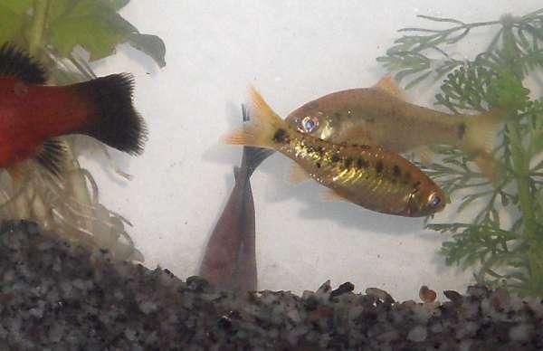 fishbowl fish