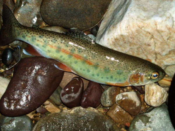 WV Wild Bow fish