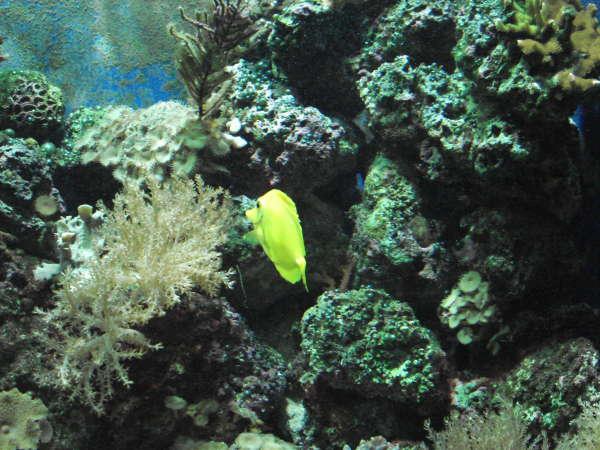 My yellow tang again fish