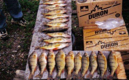 CORMORANT LAKE PERCH fish