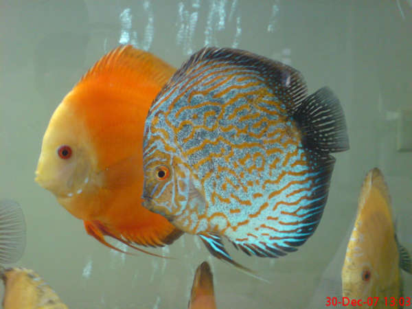 disc fish