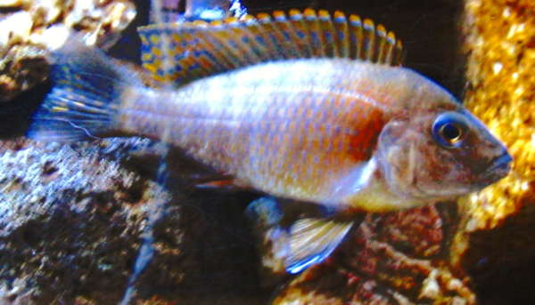 Red Peacock cichlid fish