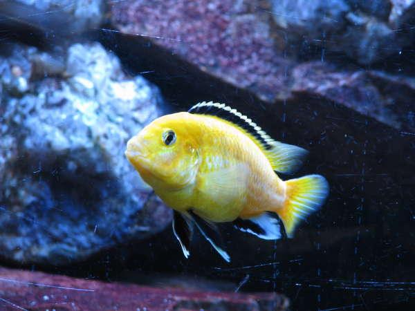 yellow lab cichlid fish