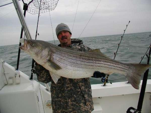 Larger Striper fish