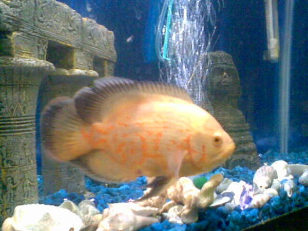 Fancy Oscar fish