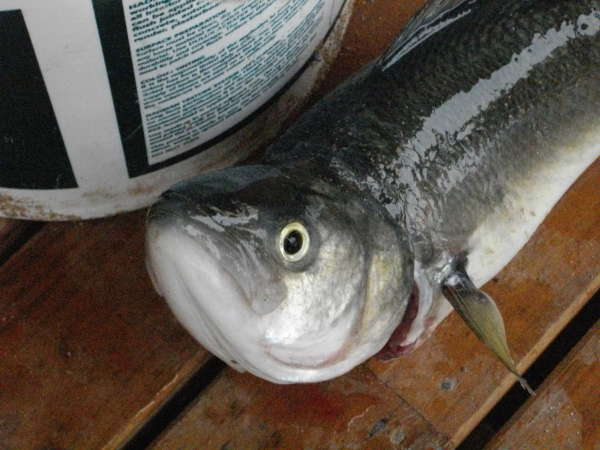 Salmon caught at Mt Camel, South Australia fish