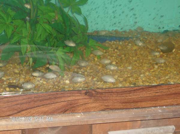 Convict Babies fish