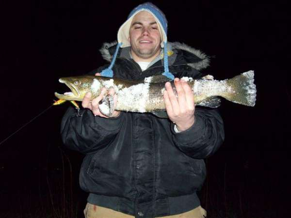 brown trout fish
