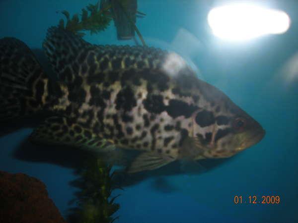 Managuense Cichlid (AKA Jaguar or Aztec Cichlid) fish