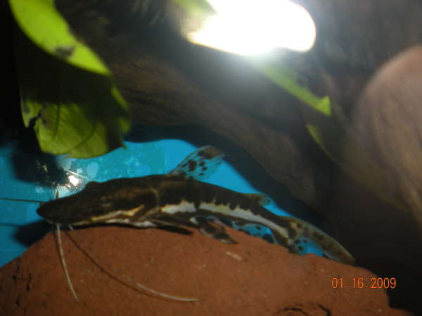 My new Tiger Shovelnose Catfish fish