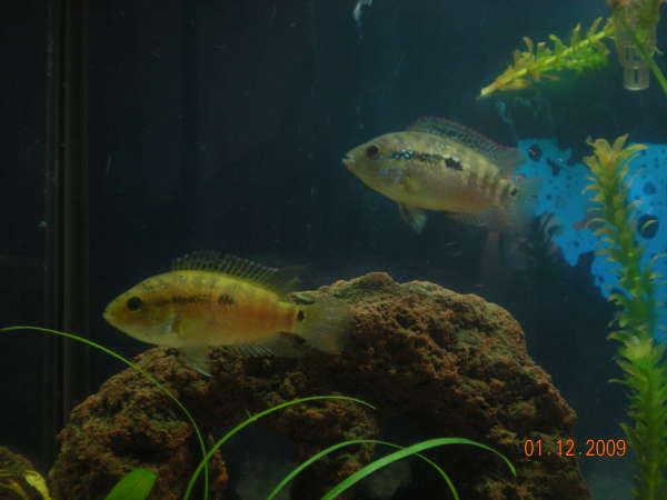 Yellow Jack Dempsey? fish