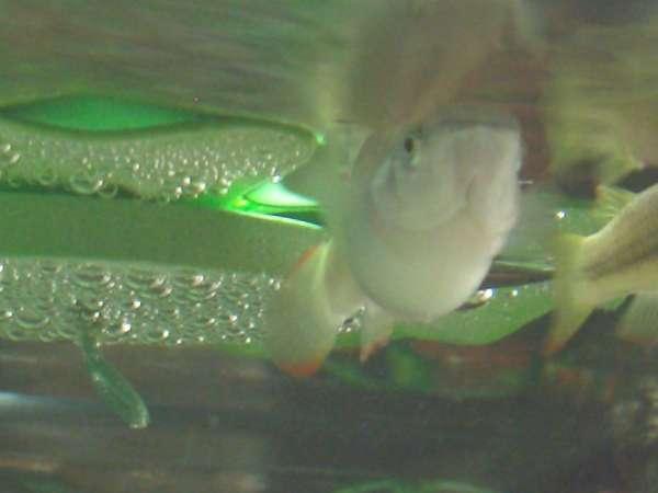Golden Wonder Killifish fish