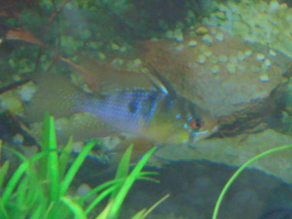 Longfin Blue Ram fish