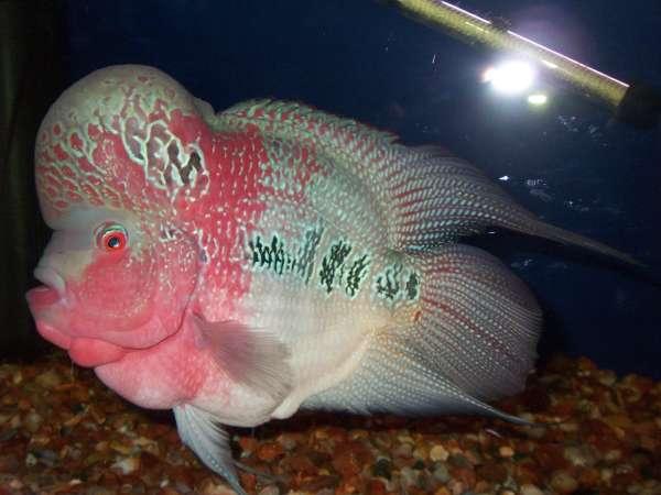 Round body Shape fish