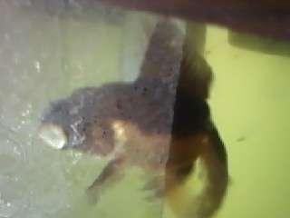 Black Moore Goldfish fish