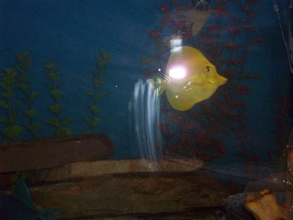 5 inch yellow tang a.k.a. MR. BRIGHTSIDE fish