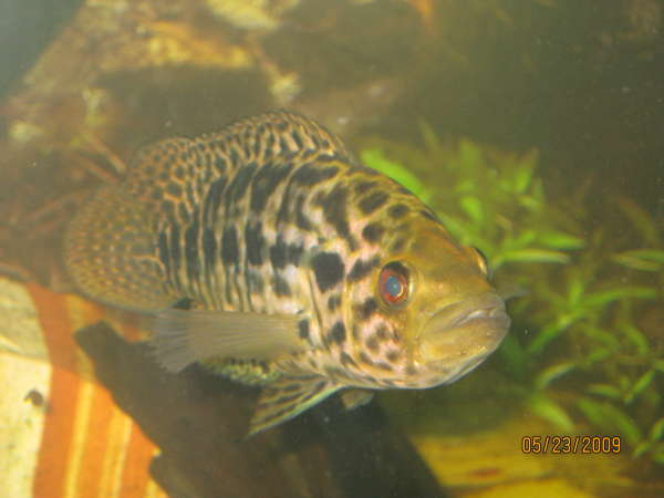 Our Male Managuense ( Jagg ) fish